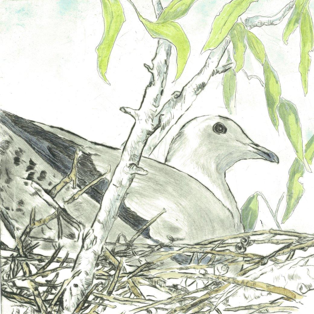 Lynn-Torres Strait Pidgeon